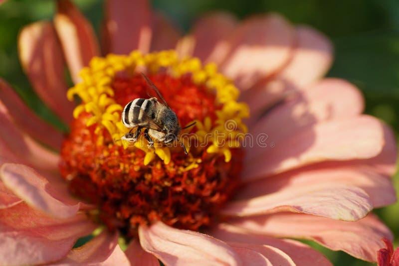 Primer del albig rayado y gris mullido caucásico de Amegilla de la abeja imagen de archivo libre de regalías
