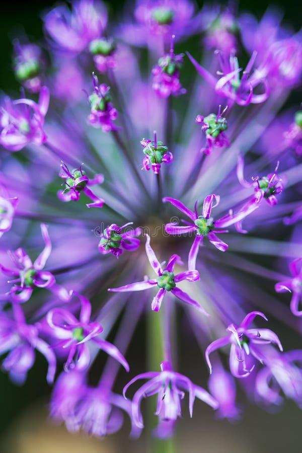 Primer del allium ornamental púrpura floreciente de la cebolla foto de archivo libre de regalías