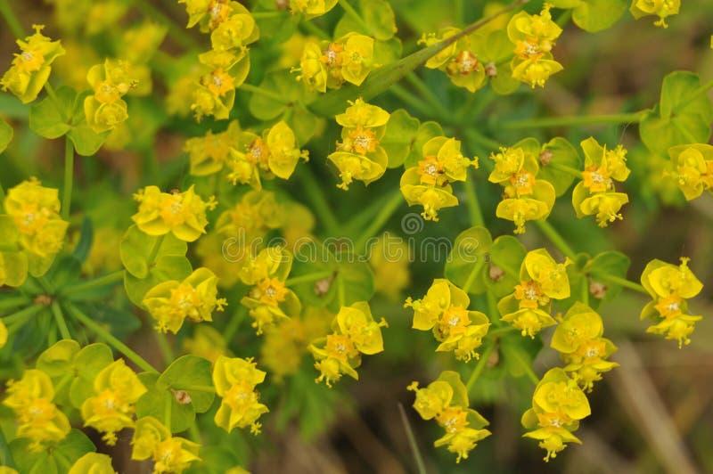 Primer del amarillo pétalo-como las brácteas de un spurge del ciprés fotografía de archivo