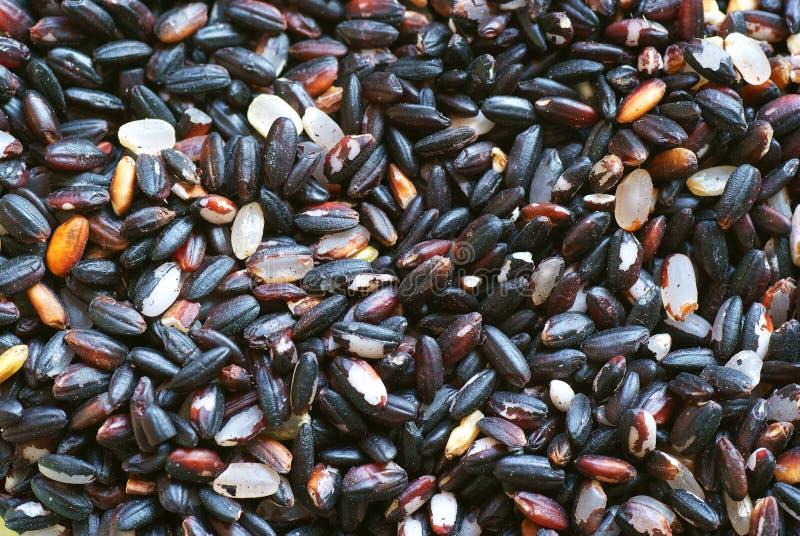 Primer del arroz púrpura fotos de archivo