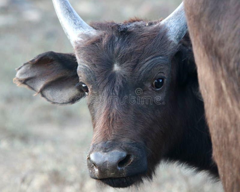 Primer del becerro del búfalo del cabo con los pequeños cuernos que miran la cámara en Suráfrica imágenes de archivo libres de regalías