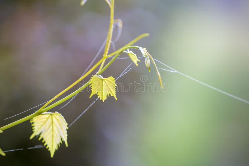 Primer del brote blando aislado de la ramita del vintage con la web de ara?a en las hojas verdes en fondo soleado brillante del e fotografía de archivo