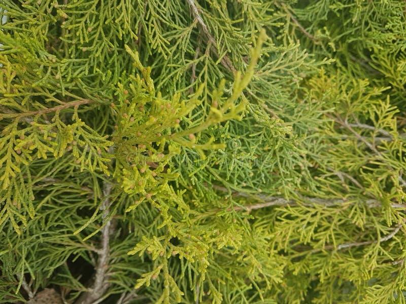 Primer del brunch de la picea Foco superficial Primer verde mullido del brunch del pino Concepto del papel pintado de la Navidad  imagenes de archivo