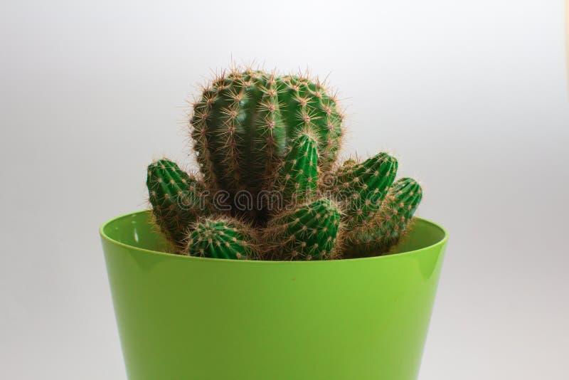 Primer del cactus contra el fondo blanco imagen de archivo