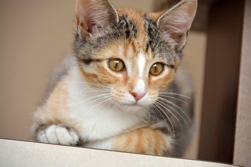 Primer del calicó femenino Kitten Laying en el contador, profundidad del campo estrecha imagenes de archivo