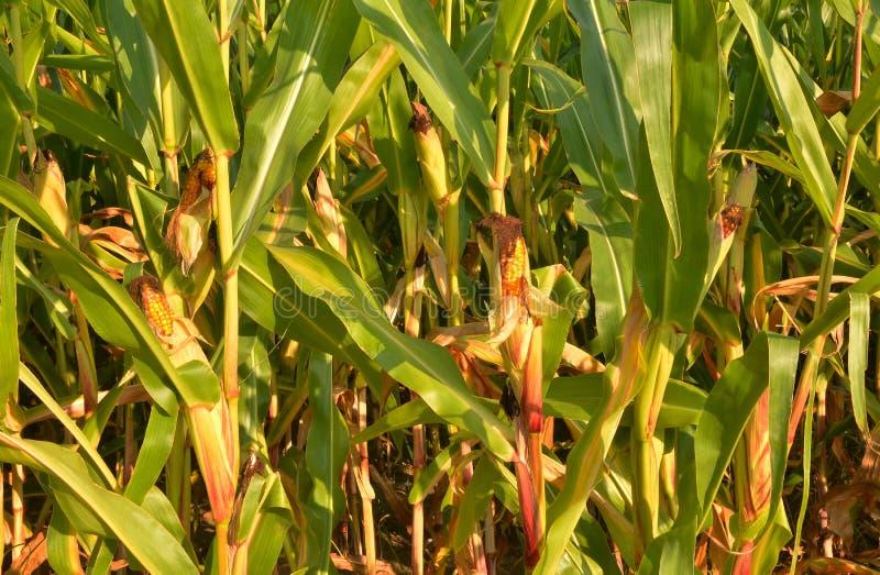 Primer del campo de maíz fotos de archivo