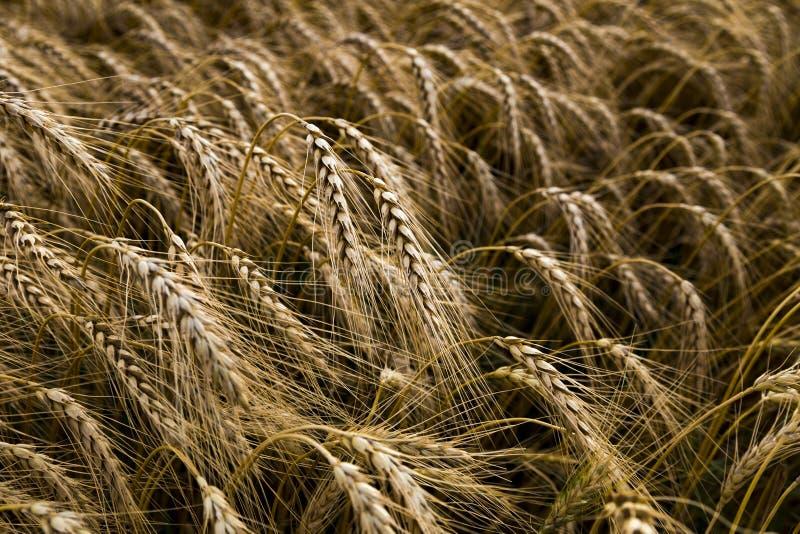Primer del campo de trigo imagenes de archivo