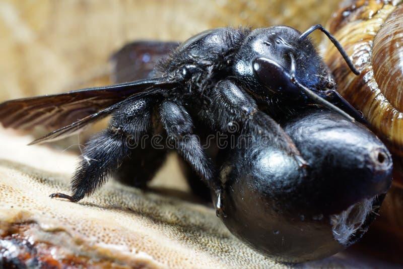 Primer del carpintero caucásico Val del Xylocopa de los huevos y de las abejas del imago foto de archivo libre de regalías