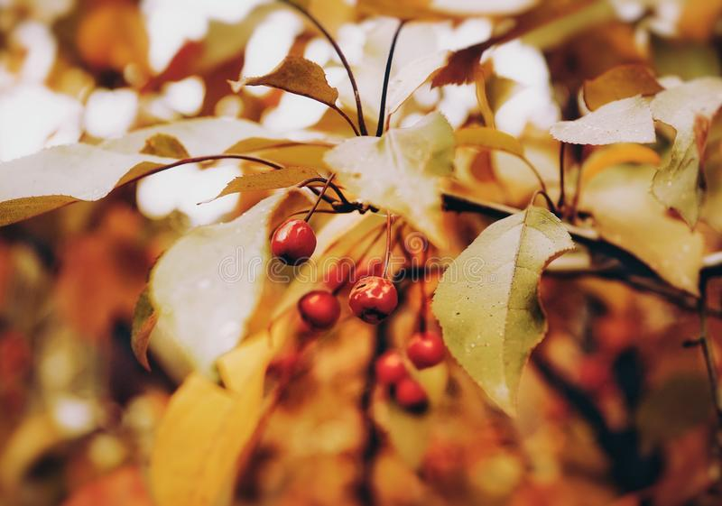 primer del color rojo del amarillo del jengibre del jardín de la naturaleza del otoño de la rama de árbol fotos de archivo