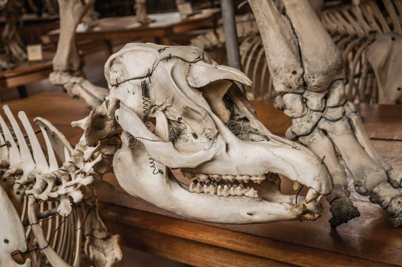 Primer del cráneo animal en el pasillo en la galería de la paleontología y de la anatomía comparativa en París fotos de archivo