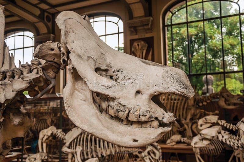 Primer del cráneo animal en el pasillo en la galería de la paleontología y de la anatomía comparativa en París imágenes de archivo libres de regalías