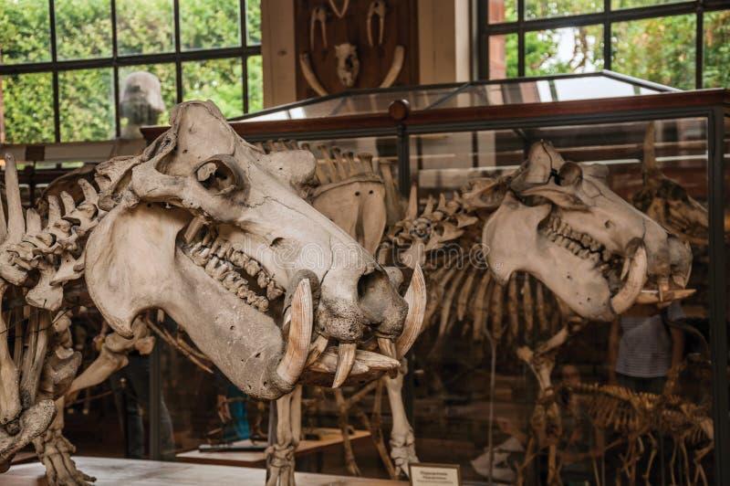 Primer del cráneo animal en el pasillo en la galería de la paleontología y de la anatomía comparativa en París imagenes de archivo
