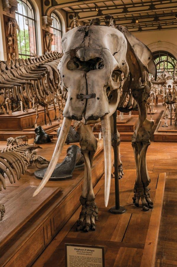 Primer del cráneo del elefante en el pasillo en la galería de la paleontología y de la anatomía comparativa en París imagen de archivo