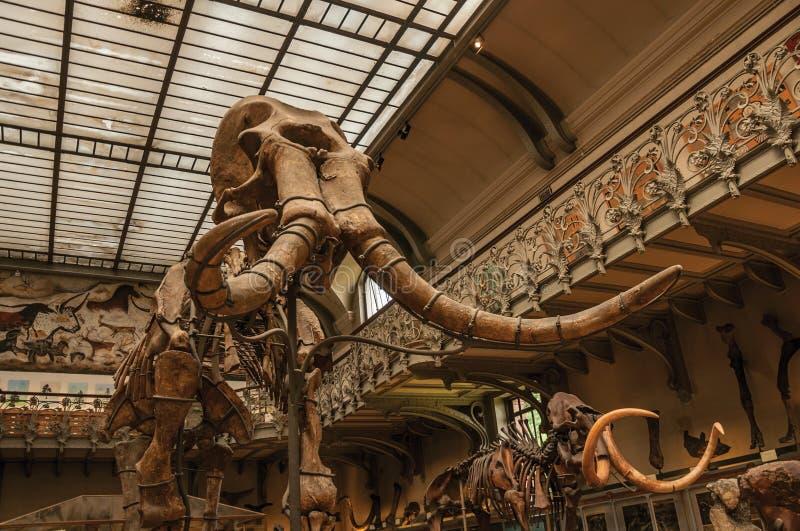 Primer del cráneo gigantesco en el pasillo en la galería de la paleontología y de la anatomía comparativa en París fotos de archivo