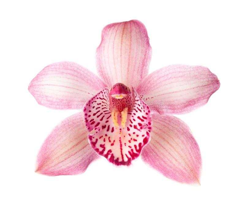Primer del Cymbidium rosado de la flor de la orquídea aislado en el fondo blanco fotos de archivo
