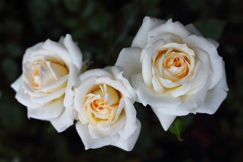 Primer del ` de Honey Milk del ` de tres rosas blancas en la rosaleda fotografía de archivo