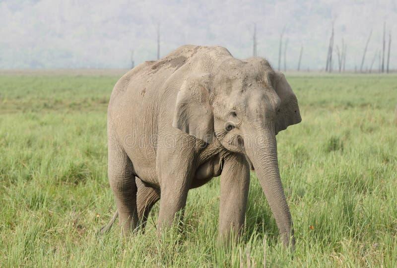 Primer del elefante asiático fotos de archivo
