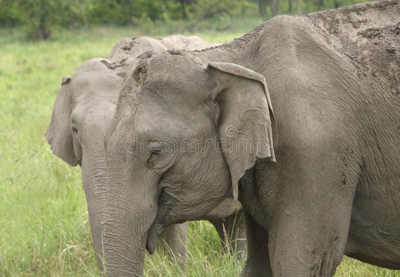 Primer del elefante asiático en Jim Corbett imagenes de archivo