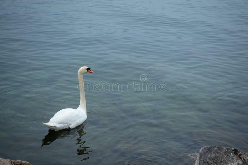 Primer del encanto y del ganso blanco elegante que flotan en el lago geneva para el fondo foto de archivo libre de regalías
