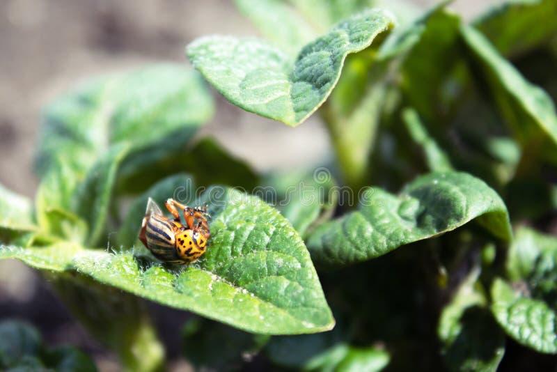 Primer del escarabajo de patata de Colorado en las hojas jovenes de la patata fotografía de archivo