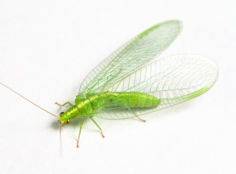 Lacewing verde del Chrysopidae fotografía de archivo