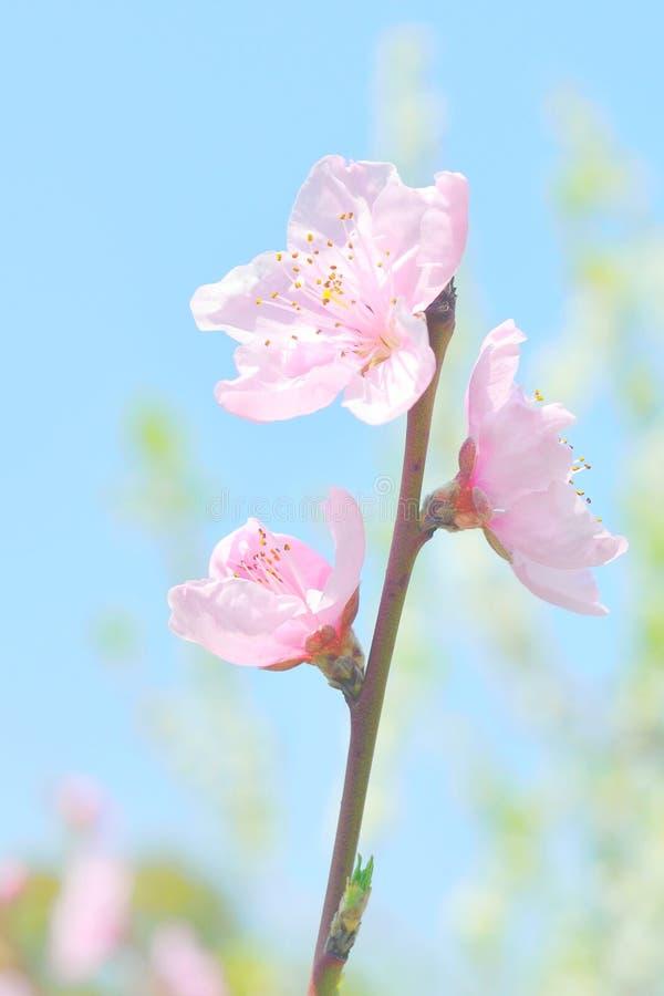 Primer del flor de cereza Sakura rosado y cielo azul fotografía de archivo