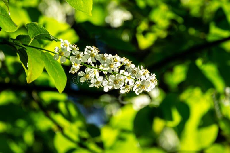 Primer del flor de la 'belleza siberiana 'del padus del Prunus en el fondo del cielo azul brillante en el jardín de la primavera  fotografía de archivo