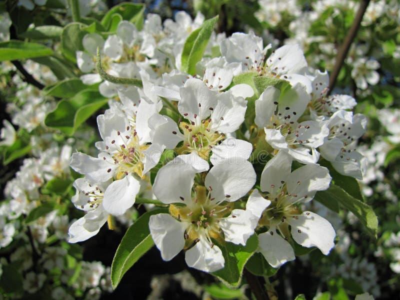 Primer del flor de la pera Árbol de pera imagen de archivo libre de regalías
