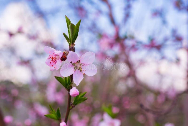 Primer del flor del melocot?n en la plena floraci?n flor rosado hermoso del melocot?n en jard?n verde fotos de archivo