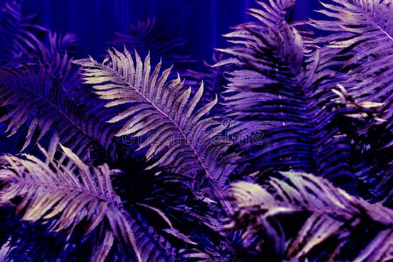 Primer del follaje enorme del helecho ultravioleta de moda iluminado por el sol, fondo botánico fotografía de archivo