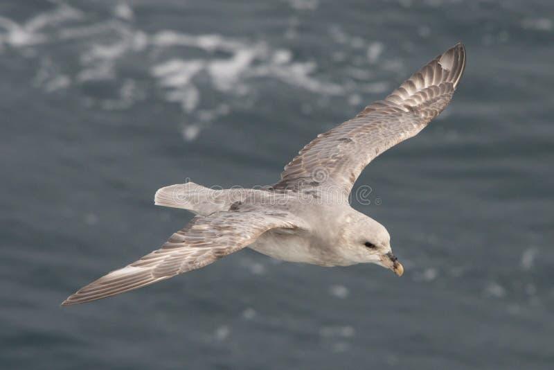 Primer del fulmar que se desliza sobre el mar ártico imágenes de archivo libres de regalías