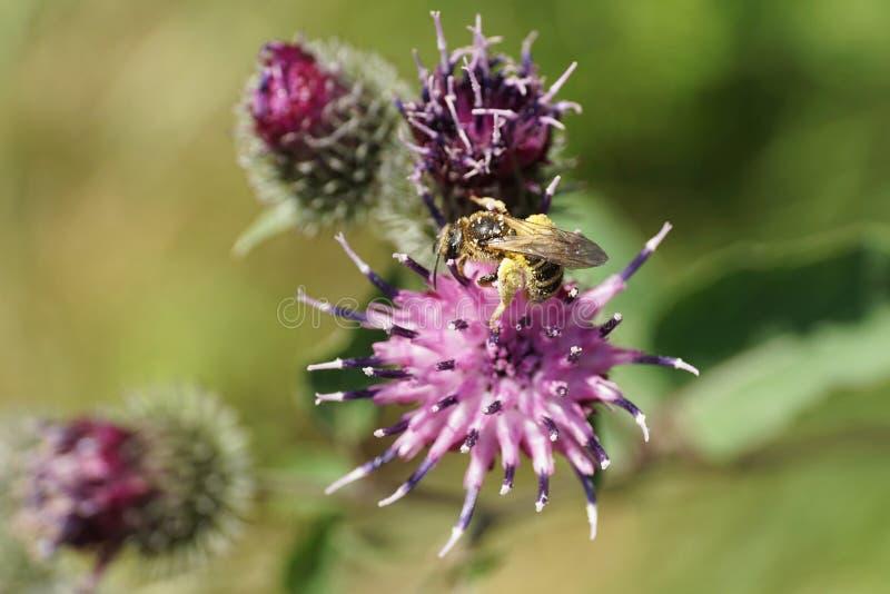 Primer del fulvi salvaje mullido marrón claro caucásico de Macropis de la abeja fotografía de archivo