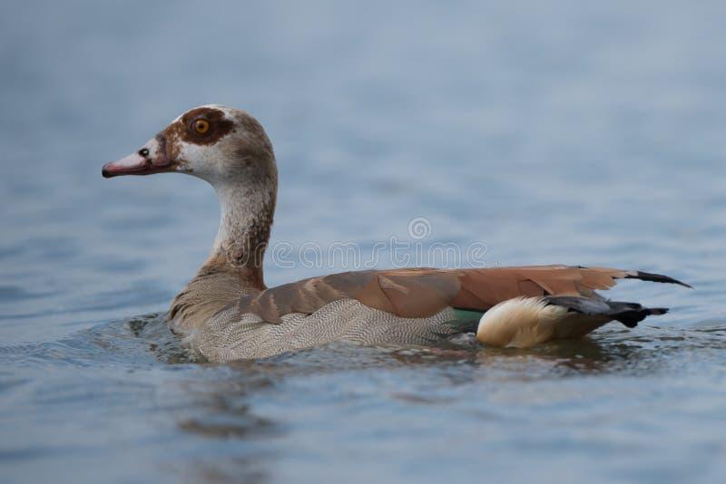 Primer del ganso egipcio en el lago tranquilo foto de archivo libre de regalías