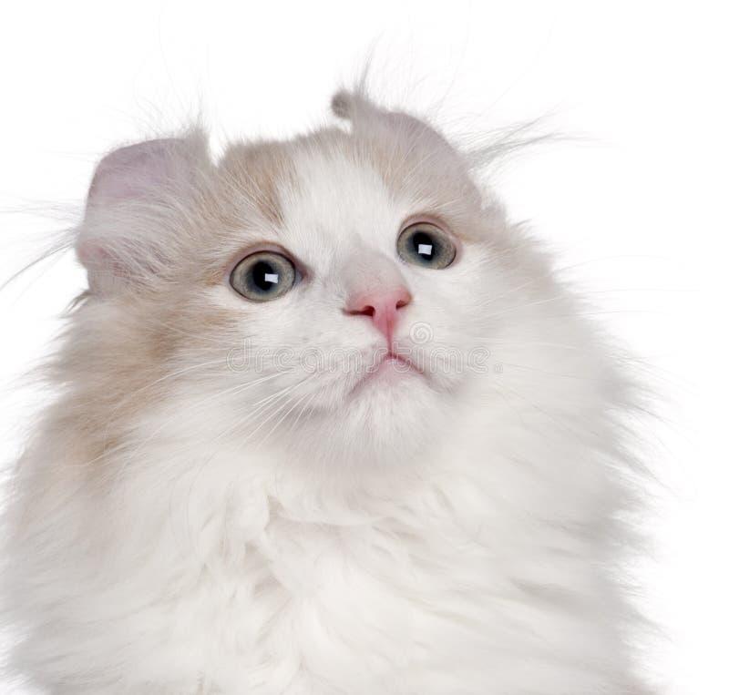 Primer del gatito americano del enrollamiento, 3 meses foto de archivo