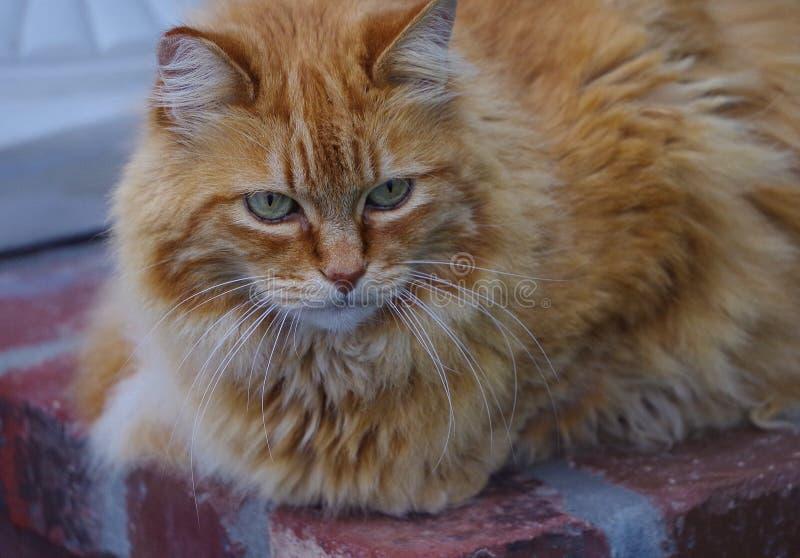 Primer del gato anaranjado con los ojos verdes y la expresión intensa fotos de archivo