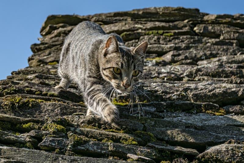 Primer del gato de la caza foto de archivo libre de regalías