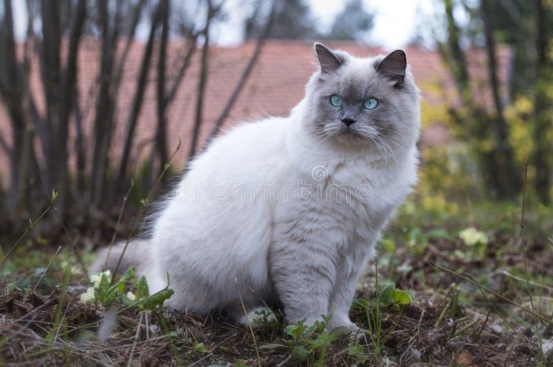 Primer del gato mullido de Ragdoll que se sienta en un prado fotos de archivo libres de regalías