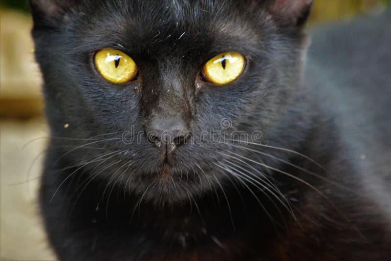 Primer del gato negro fotografía de archivo