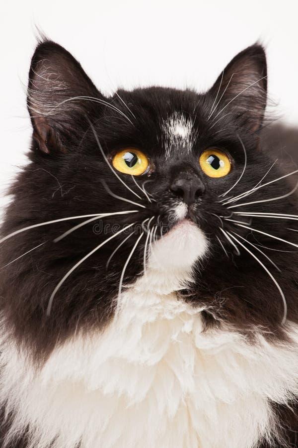 Primer del gato siberiano blanco y negro foto de archivo libre de regalías