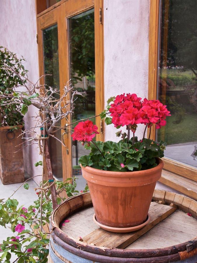 Primer del geranio rojo en un pote de cerámica en un barril de madera foto de archivo libre de regalías
