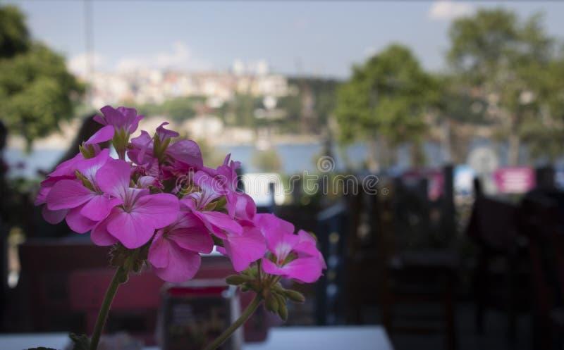 Primer del geranio zonal ( Pelargonium hortorum) flor fotos de archivo