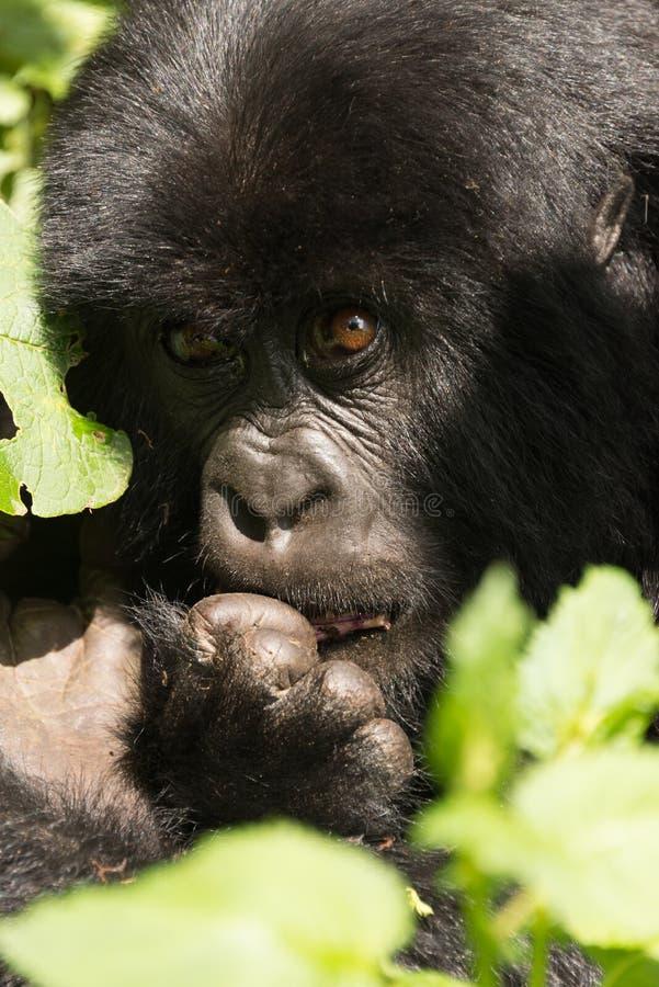Primer del gorila del bebé que muerde un finger imagen de archivo libre de regalías