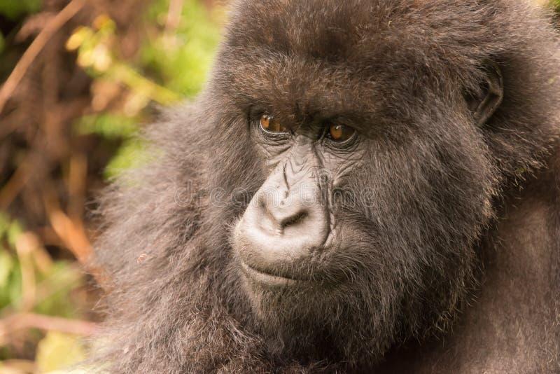 Primer del gorila en bosque que mira fijamente cuidadosamente imágenes de archivo libres de regalías