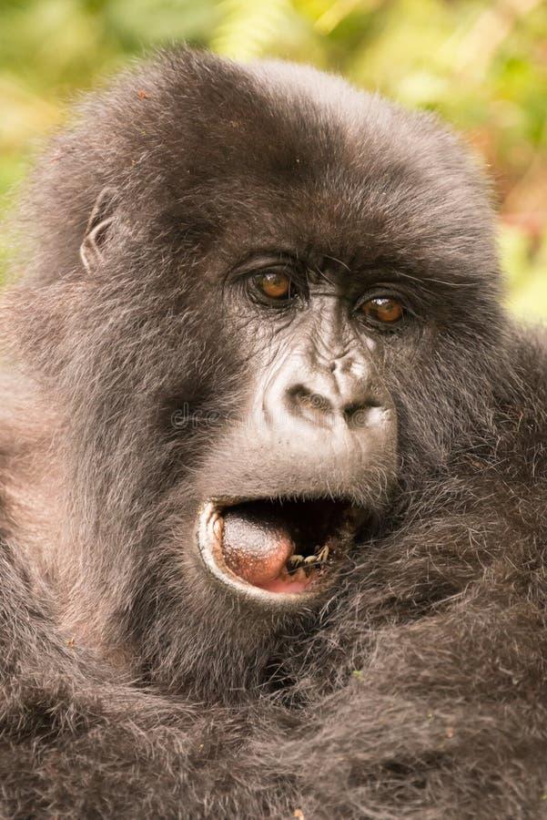 Primer del gorila que bosteza con la boca abierta imágenes de archivo libres de regalías