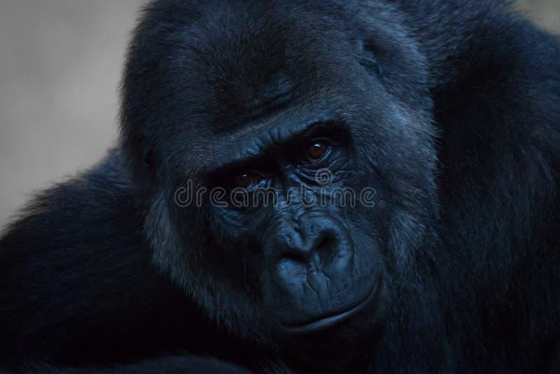 Primer del gorila que mira derecho la cámara imágenes de archivo libres de regalías