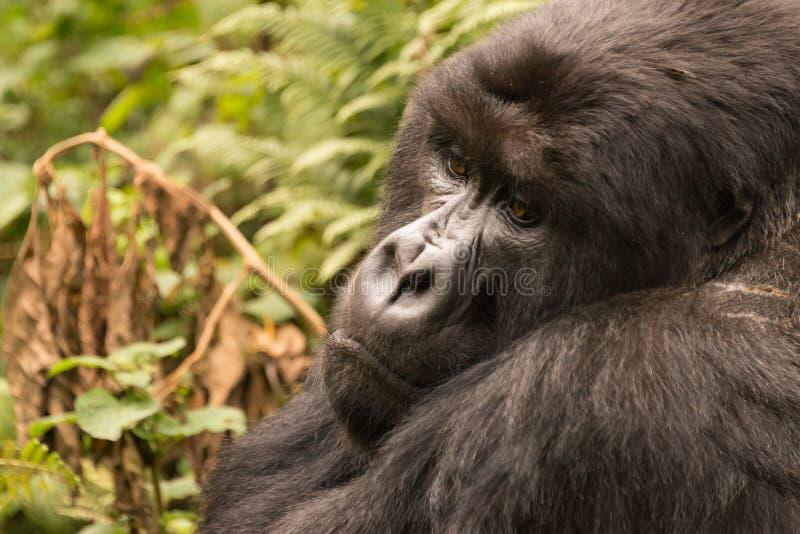 Primer del gorila que se sienta que mira abajo tristemente imágenes de archivo libres de regalías