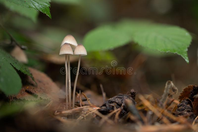 Primer del grupo de tres pequeños hongos blancos que crecen debajo de las hojas foto de archivo libre de regalías