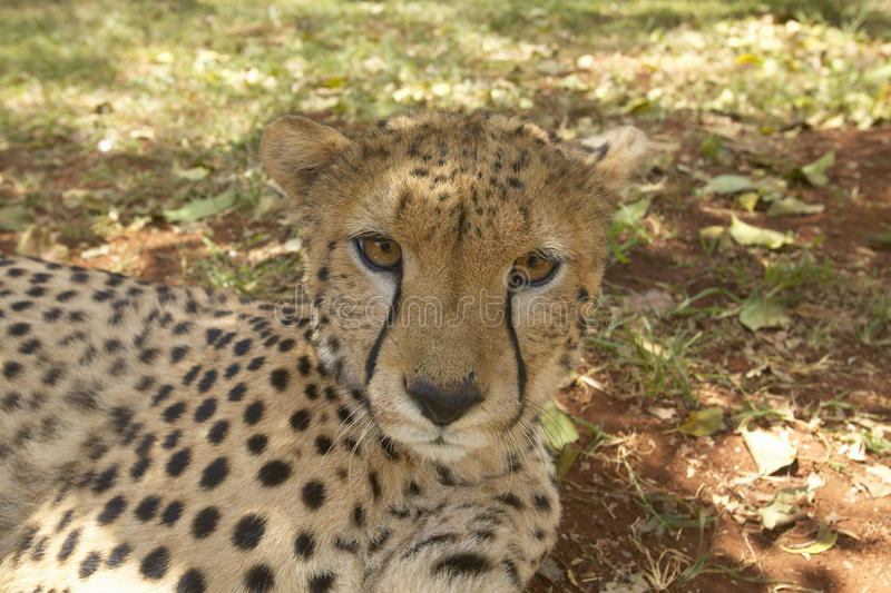 Primer del guepardo en la instalación animal de Nairobi, Kenia, África en el servicio de la fauna de KWS Kenia foto de archivo libre de regalías