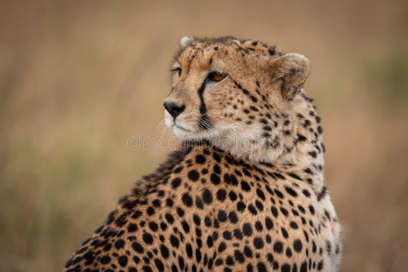 Primer del guepardo que mira detrás sobre hombro imágenes de archivo libres de regalías