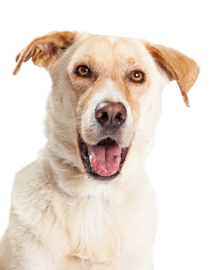 Primer del híbrido amarillo feliz del perro de Labrador fotos de archivo